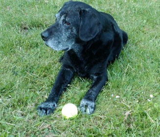 Frank, our beautiful 16yr old Labrador